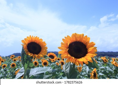 Sunflowers characterized by a dark foreskin face