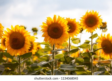 Sunflowers close image in the sunset warm light