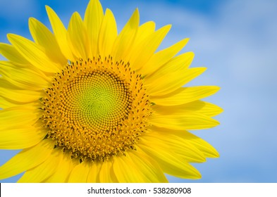 Sunflowers close up yellow flower of Beautiful garden Annual plant Adapting to the conditions of the tropics oil improves skin health and promote cell regeneration.