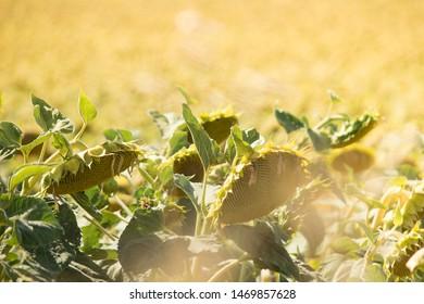 Sunflowers crestfallen on a summer afternoon