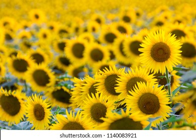 sunflowers cultivated fields tuscany italy