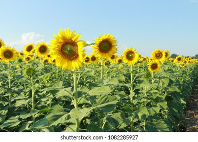 Sunflowers facing the sun in the morning. Yellow flowers in the garden. Green leaves. Blue sky with cloud.