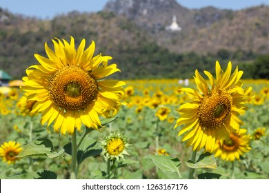 Sunflowers facing the sun. The response (Positive Phototropism) is a response to a stimulus that stimulates only one side. hormone auxin (Auxin) because light influences causing.