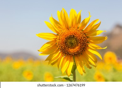 Sunflowers facing the sun. The response (Positive Phototropism) is a response to a stimulus that stimulates only one side.