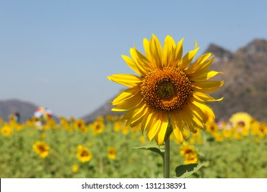Sunflowers facing the sun. The response (Positive Phototropism) is a response to a stimulus that stimulates only one side. hormone auxin. (Auxin)