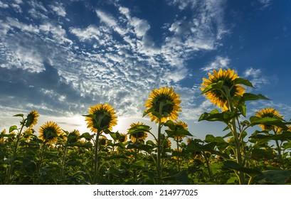 sunflowers facing the sun under beautiful sky
