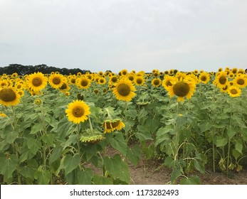 Sunflowers facing you