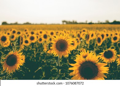 sunflowers farm in the countryside