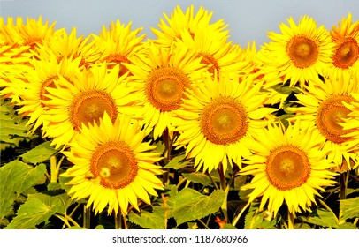 Sunflowers field background. Sunflower field view. Sunflower flowers view. Sunflower field view