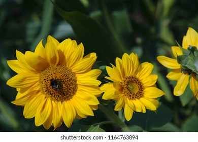 Sunflowers in the field with a bee in the sun