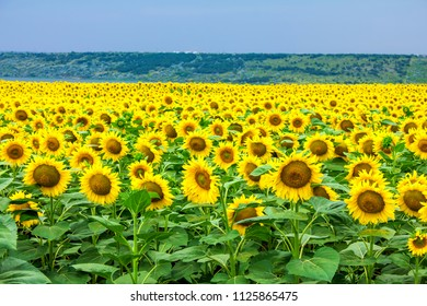 sunflowers field and blue sky