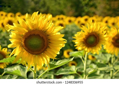 Sunflowers field, can used for sunflower garden background or health care background.