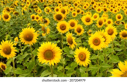 Sunflowers field close view in summer day