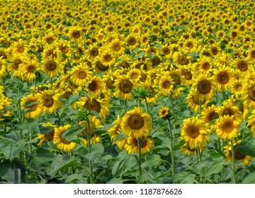 Sunflowers field in Custer State Park in the Black Hills, South Dakota, USA