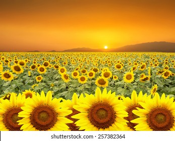 Sunflowers field on a background sunset