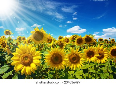 sunflowers field on cloudy blue sky