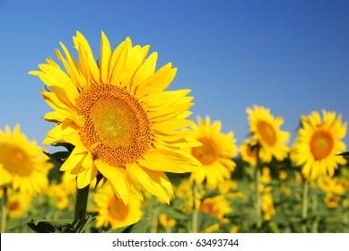 sunflowers in the field in summer