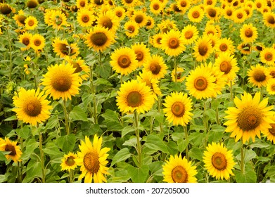 Sunflowers field in the summer day