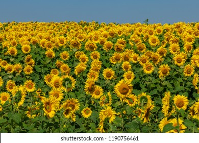 sunflowers field in sunny day