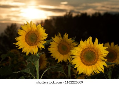 Sunflowers field in the sunset