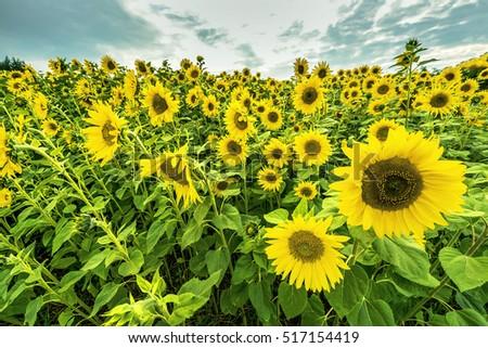 sunflowers-field-sunset-450w-517154419.j