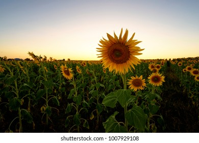 Sunflowers in field at sunset, Queensland.
