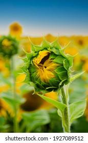 Sunflowers at field under blue sky somewhere in Ukraine