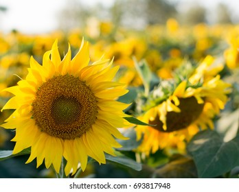 Sunflowers / Field of Sunflowers under bright skies