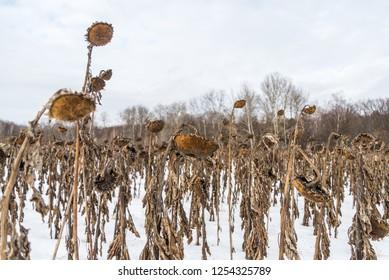 Sunflowers field in winter