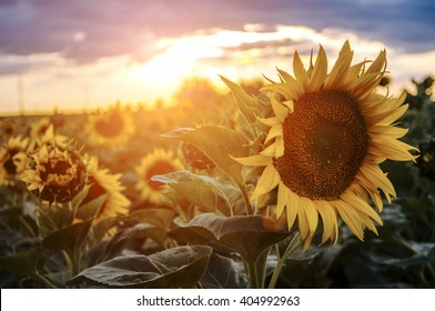 Sunflowers in the fields during sunset in Serbia