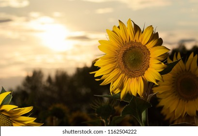 Sunflowers in fields planted with the sun backlight at sunset