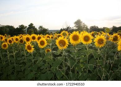 Sunflowers fields of Ukraine on sunset