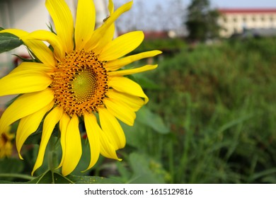 Sunflowers are flowers and decorative plants that are unique and beautiful. Since the sunflower is a large flower, it looks outstanding and clearly visible. In addition, he always faces the sun.
