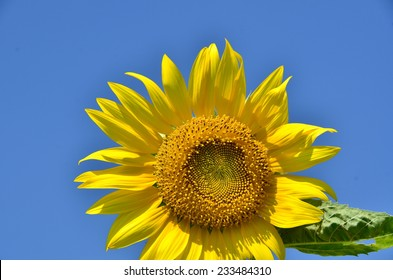 sunflowers flowers green background yellow