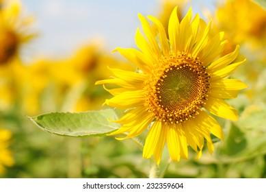 sunflowers flowers yellow green background nature