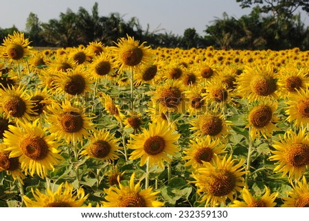 sunflowers flowers yellow green background wallpaper