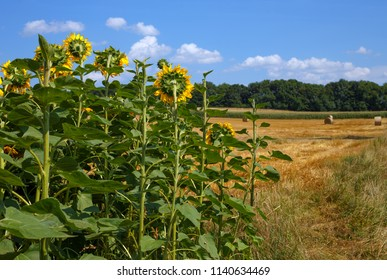Sunflowers in front of a harvested field in Burgenland / Austria