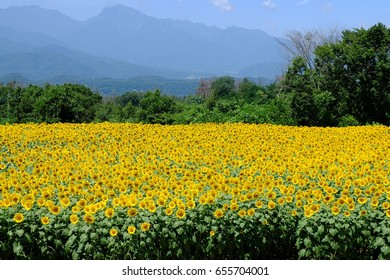 Sunflowers in full bloom against a background of Southern Alps ('Minami Arupusu' in Japanese), Akeno, Hokuto, Yamanashi, Japan