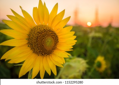 Sunflowers garden. Sunflowers have abundant health benefits. Sunflower oil improves skin health and promote cell regeneration