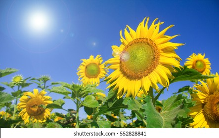 Sunflowers garden. Sunflowers have abundant health benefits. Sun