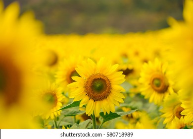 Sunflowers garden in Khao Yai of Thailand