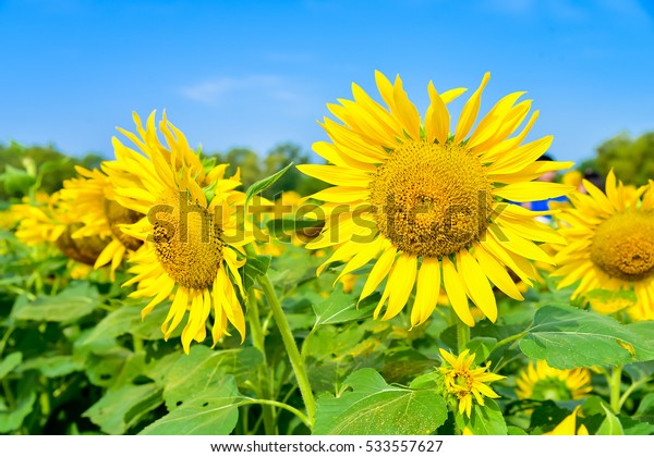 Sunflowers at green field with green leaves of sunflowers