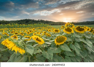 Sunflowers growing in a field on a summer day near the Blue Ridge Parkway in Western North Carolina.