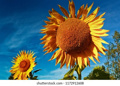 Sunflowers growing on a field in the rural Finland. The warm weather has helped the flowers bloom in bright yellow color.