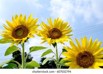 Sunflowers - Helianthus annuus.