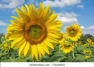 Sunflowers, Helianthus with blue sky
