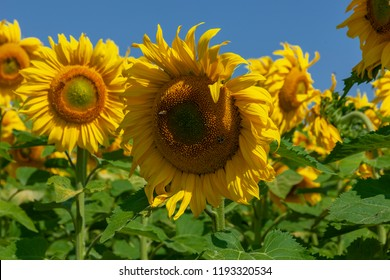 Sunflowers with honey bees  in the field against blue sky sunny day