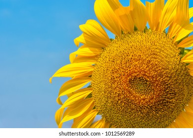 Sunflowers are inadequate or irregular due to insect infestations and dehydration due to drought.