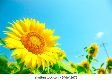 Sunflowers, JAPAN. Field of blooming sunflowers on a background blue sky.