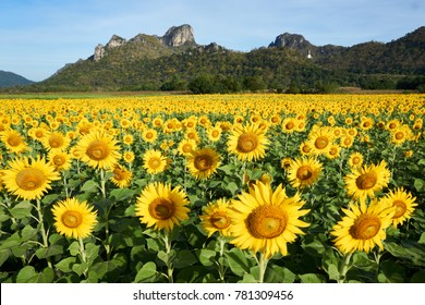 Sunflowers at Khao Jeen Lae Sunflower Field /Lopburi Province/Thailand